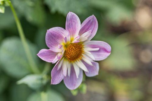 dahlia hortensis,dahlia,kaklo suklupimas-dahlia,žiedas,žydėti,makro,gėlė,Uždaryti