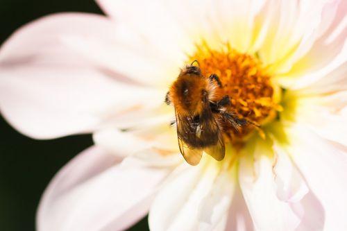 dahlia hortensis,Hummel,žiedas,žydėti,makro,vabzdys,gėlė,gyvūnas,Uždaryti,dahlia,kaklo suklupimas-dahlia