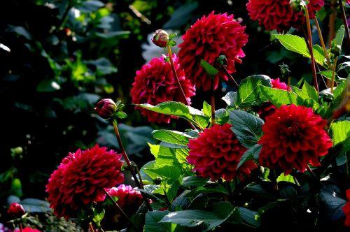dervos,gėlės,vasara,vasaros sezonas,vasaros pabaigoje,vasaros gėlės,šviesa,šviesa ir šešėlis,sodas,raudona,spalvinga,farbenpracht,sodininkystė,naudos iš,mėgautis,kūrimas