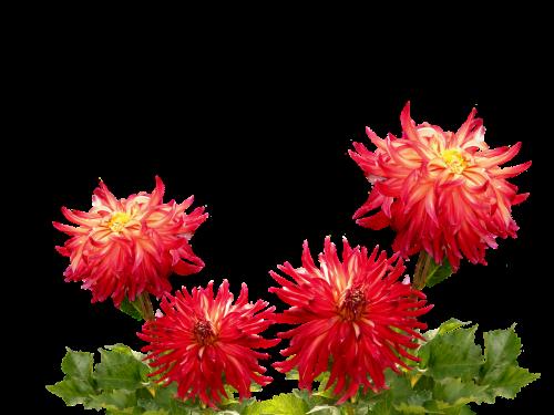 dervos,ruduo,dahlia sodas,vasaros pabaigoje,dahlia,dahlio gėlė,flora,papuošalai dahlia,rudens delfinai,sodo augalas,žiedas,žydėti,sodas,Dalia