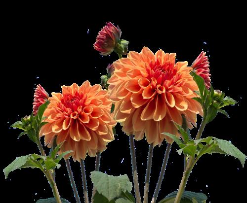 dervos,ruduo,dahlia,dahlia sodas,žiedas,žydėti,sodas,vasaros pabaigoje,augalas,flora,gėlių ruduo,rudens gėlė,rudens delfinai,dahlio gėlė,papuošalai dahlia