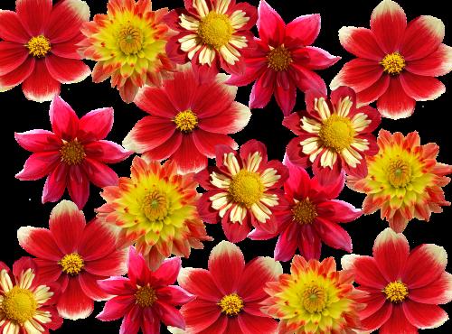dervos,ruduo,raudona,dahlia sodas,sodas,Dalia,vasaros pabaigoje,dahlio gėlė,žiedas,žydėti,gėlių sodas,dahlia,flora,augalas,papuošalai dahlia,rudens gėlė,rudens delfinai,rudens spalvos