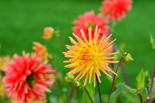 dervos,dahlia cultivas,kaktusas dahlia,gėlė,rudens gėlė,sodo augalas,dahlia sodas,dahlia,gėlės