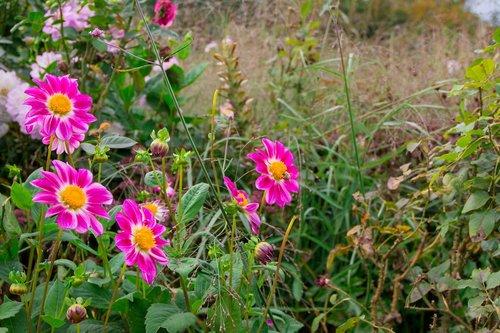 jurginų, rožinis, pobūdį, gėlių sodas, Dahlia sodas, vasaros gėlės, vasara, Dahlia, gėlė, rožinės-geltonos spalvos, Dahlia Flower, sodas