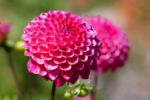 dervos,dahlia,geoterminė energija,augalas,kompozitai,rožinis,pompon dahlia,gėlių sodas,dekoratyvinė gėlė,žiedas,žydėti,gėlė,ruduo