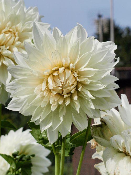 dahlia, balta, mėlynas, gėlė, gamta, gražus, dahlia su dangaus