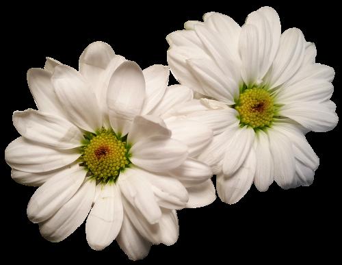 rozės,eksponuotos,gėlių galvos,baltos gėlės