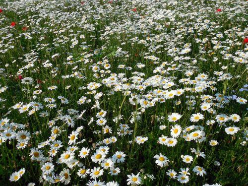 rozės,leucanthemum,gėlės,vasara,kompozitai,balta,blütenmeer,gėlių jūra