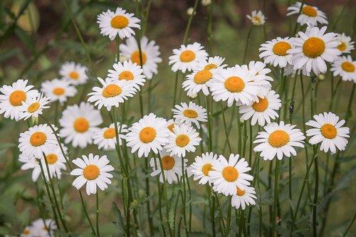 Saulutės, Gėlių pieva, baltos spalvos, laukinių gėlių, pavasaris, spyruoklė pieva, pieva margerite, Polne, žiedas, žydi, žolė, vasaros pieva, geltona, Pīpene pieva, šviesus, baltos gėlės, meadow, gėlės, gamta