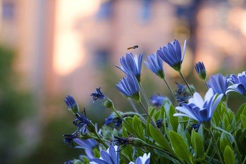 Saulutės, Bornholmas Pīpene, gėlės, balkonas augalai, Violetinė, violetinė, Cape krepšys, kompozitai, Asteraceae, osteospermum ecklonis, Dimorphotheca ecklonis