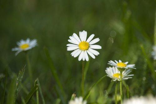 Saulutės, laukas, meadow, žalias, vasara, pavasaris, pievos, gėlės, žolė, pobūdį, gėlė, laisvė, sodas