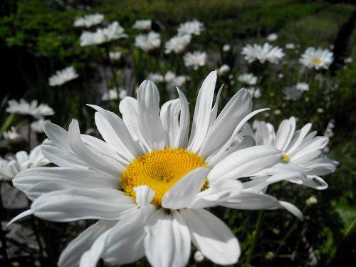 Daisy,gėlė,vasaros gėlės,gėlės,balta,vasara,baltos gėlės,Iš arti,žiedlapis,lauko gėlės,žydėti,ramunė,gamta,baltos dainos,žiedlapiai,geltonas centras,puokštė,birželis,diena
