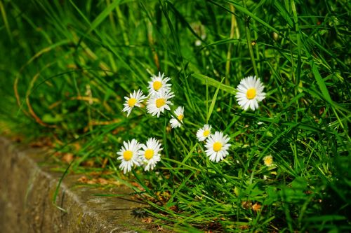Daisy,gėlės,balta,pavasaris,laukinis augalas,gamta,pieva,žolė,skubėti,bellis filosofija,ištvermės rožė,daugiametė daisy,tausendschön,monatsroeserl,swiss margritli,mažai daisy,kompozitai,asteraceae
