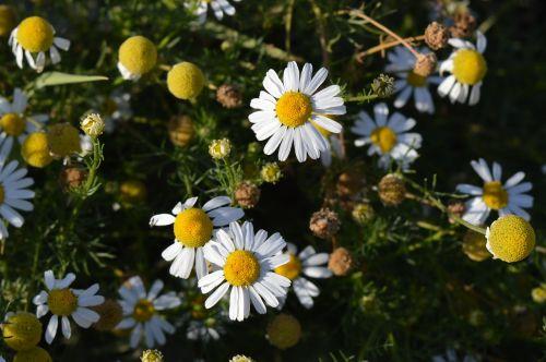 Daisy,gėlė,farmacinė kumelė,lauko gėlės,vasaros gėlės,gėlės,baltos gėlės,Iš arti,žiedlapis,žydėti,ramunė,gamta,baltos dainos,liaudies medicina,pažeidžiami augalai,laukinės žolelės,laukas,diena,laukinės gėlės,pieva,saulėta diena,vasara,augalas,flora