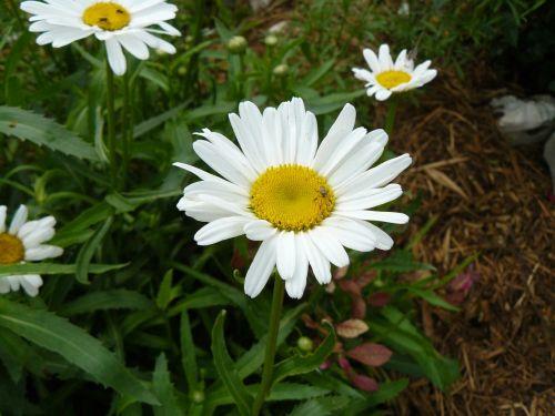 Daisy,klaida,sodas,gamta,vabzdys,balta,žiedadulkės,geltona,žiedlapiai,žalias,pavasaris,žydėti,sparnai,žydėjimas,lauke