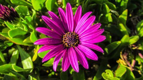 african Daisy,osteospermas,daisybush,gėlė,violetinė,gamta,pavasaris,augalas,žiedas,sodas