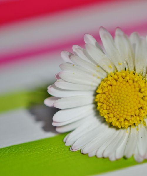 Pavasario Pieva, Laukinės Vasaros Spalvos, Daisy, Gėlės, Pavasaris, Gėlė, Pieva, Gėlių Pieva, Augalas, Gamta, Vasara, Žolė, Vasaros Pieva