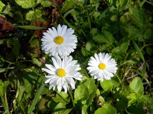 Daisy,gėlė,baltos gėlės,laukas,ramunė,balta,gėlės,vasara,augalas,gamta,lauko gėlės,baltos dainos,žydėti,vasaros gėlės,geltonas centras,sodo gėlės,pavasario gėlės,gražios gėlės