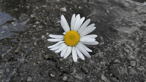 Daisy,gėlė,bila