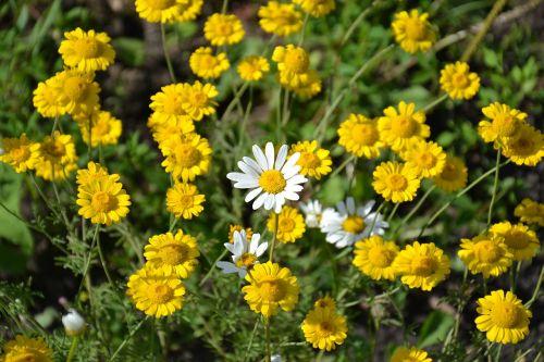 Daisy,gėlės,ramunė,geltonos gėlės,vasara,lauko gėlės,balta,Iš arti,augalas,vasaros gėlės,žiedlapis,šviesus,geltonos ramunės,baltos dainos,dacha,gamta,flora,botanika,sodas