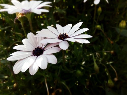 african Daisy,Daisy,gėlės,gėlė,blyški,violetinė,žiedlapiai