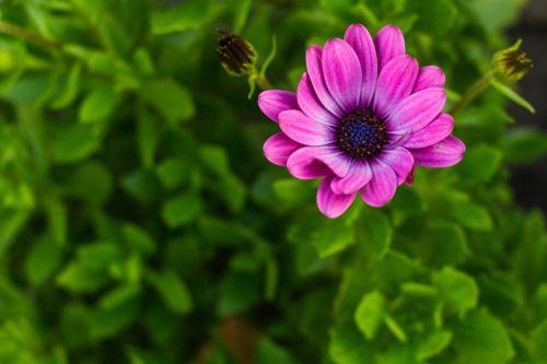 Daisy,african Daisy,makro,gėlė,violetinė,žalias,gamta,augalas