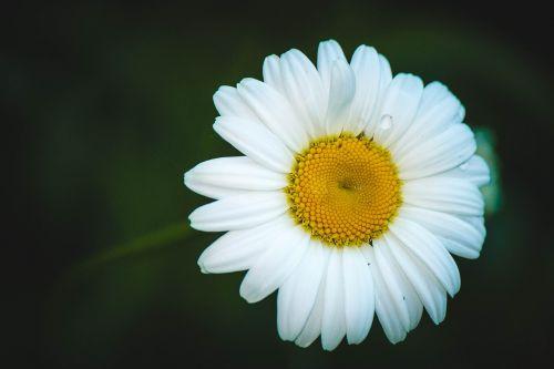 Daisy,gėlė,vasaros gėlės,ramunė,gėlės,vasara,baltos gėlės,balta,Iš arti,lauko gėlės,žydėti,gamta,baltos dainos,geltonas centras,makro,lašai vandens,sodas,laistymas