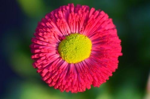 Daisy,raudona,gėlė,žiedas,žydėti,augalas,spalva,pavasaris,spalvinga,makro,raudona ramunė,gamta,kompozitai,Rob Roi,veislė,Uždaryti,šviesus,raudona gänseblume,raudona gėlė