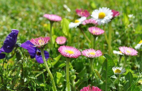 Daisy,rožinė daisy,pavasaris,žiedas,žydėti,gamta,pieva,daugiametė daisy,rožinės gėlės