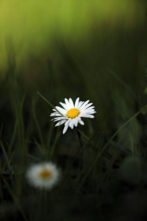 Daisy,aštraus gėlė,gėlė,pieva,pavasaris,gamta,vejos gėlė,laukinė gėlė,žąsų gėlė,flora,maža gėlė,gražus,balta,vasara,pavasario pranašys,mažas,žalias,žemėlapis,atvirukas,gėlių sveikinimas,švelnus,skubėti