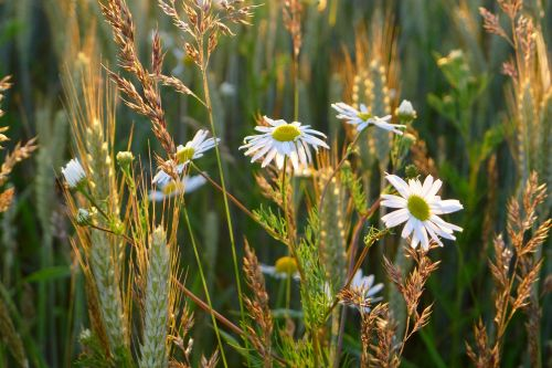 Daisy,leucanthemum vulgare,Oksėjaus daigai,leucanthemum,vulgare,gėlė,wildflower,laukas,pieva,oksiukas,žolė,ausis,kvieciai,miežiai