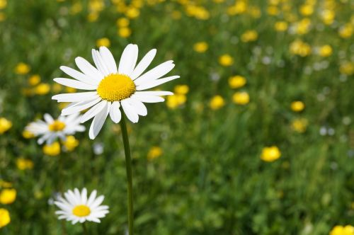 Daisy,žąsų gėlė,pieva,gėlė,pavasaris,Uždaryti,augalas,žiedas,žydėti,aštraus gėlė,gražus,balta geltona,sodas,laukinė gėlė
