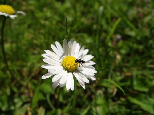 Daisy,gėlė,žiedas,žydėti,pieva,vasara,žydėti,skraidantis antkas