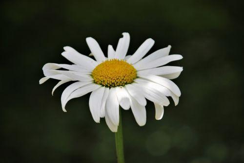 Daisy,gėlė,gamta,vasara,gėlės,baltos gėlės,Iš arti,lauko gėlės,geltonas centras,vasaros gėlės,žydėti,sodas