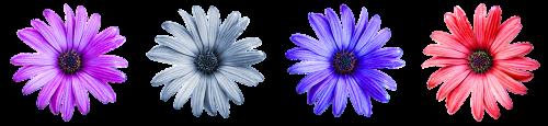 Daisy,gėlė,spalvinga,pieva,vasara,žąsų gėlė,graži gėlė,žiedas,žydėti,spalva,pavasario pranašys,aštraus gėlė,meilė,izoliuotas