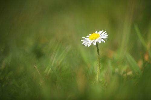 Daisy,gėlė,balta,augalas,pavasaris,gamta,Uždaryti,makro,gėlės,žolė,graži gėlė,pieva,sodas,žąsų gėlė