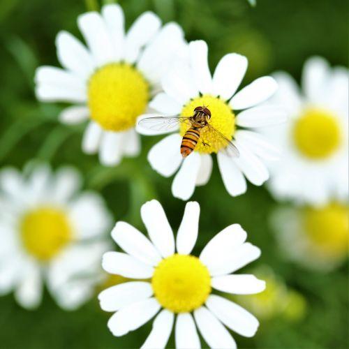 Daisy,gėlė,bičių,vabzdys,gyvūnas,makro,užkandimas,sparnai,pašaras,lauke,gamta,sodas,flora,žiedadulkės,Chiangmai,Tailandas