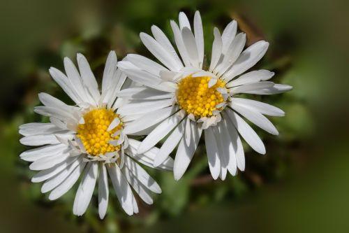 Daisy,bellis filosofija,tausendschön,monatsroeserl,m p,mažai daisy,žydintis augalas,asteraceae šeima,asteraceae,žolinis augalas,flora,gamta,makro,geltona balta,žalias