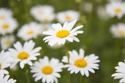 Daisy,  Pieva Pievą,  Vasara,  Meadow,  Pobūdį,  Pieva Gėlės,  Žolė,  Žalias,  Gėlė,  Balta Gėlė,  Raktiniai Žodžiai Fotomontáž,  Žydėjimo Pievą,  Augalų,  Gėlės