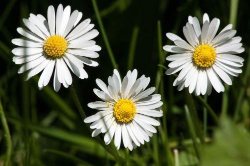 pieva,Daisy,bellis filosofija,tausendschön,monatsroeserl,m p,mažai daisy,žydintis augalas,asteraceae šeima,asteraceae,žolinis augalas,flora,gamta,geltona balta,žalias
