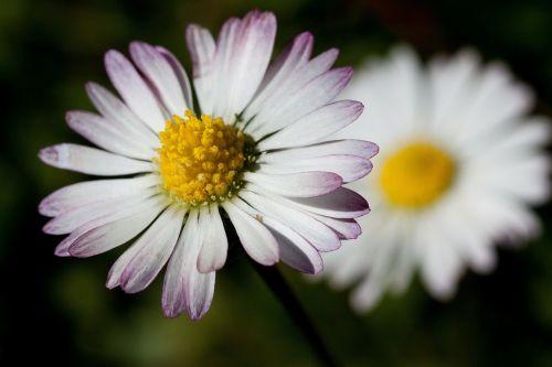 Daisy,bellis filosofija,tausendschön,monatsroeserl,m p,mažai daisy,žydintis augalas,asteraceae šeima,asteraceae,žolinis augalas,flora,gamta,geltona balta,žalias,makro