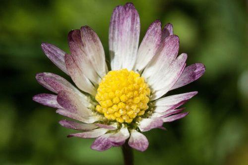 Daisy,žiedas,bellis filosofija,tausendschön,monatsroeserl,m p,mažai daisy,žydintis augalas,asteraceae šeima,asteraceae,žolinis augalas,flora,gamta,geltona balta,žalias,makro