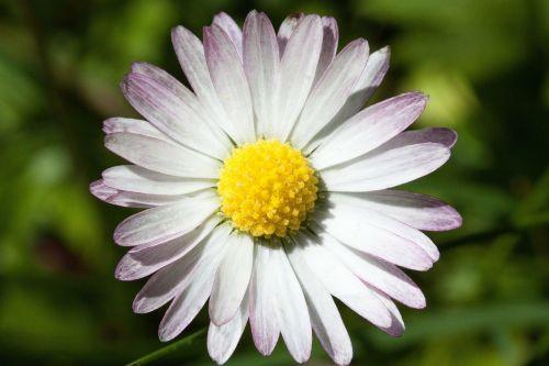 Daisy,bellis filosofija,tausendschön,monatsroeserl,m p,mažai daisy,žydintis augalas,asteraceae šeima,asteraceae,žolinis augalas,flora,gamta,geltona balta,žalias