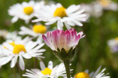 Daisy,žiedas,bellis filosofija,tausendschön,monatsroeserl,m p,mažai daisy,žydintis augalas,kompozitai,asteraceae,žolinis augalas,flora,gamta,geltona balta,rožinis,žalias,makro
