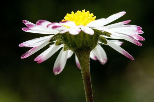 Daisy,bellis filosofija,tausendschön,monatsroeserl,m p,mažai daisy,žydintis augalas,asteraceae šeima,asteraceae,žolinis augalas,flora,gamta,geltona balta,rožinis,žalias,makro,mažas kampas
