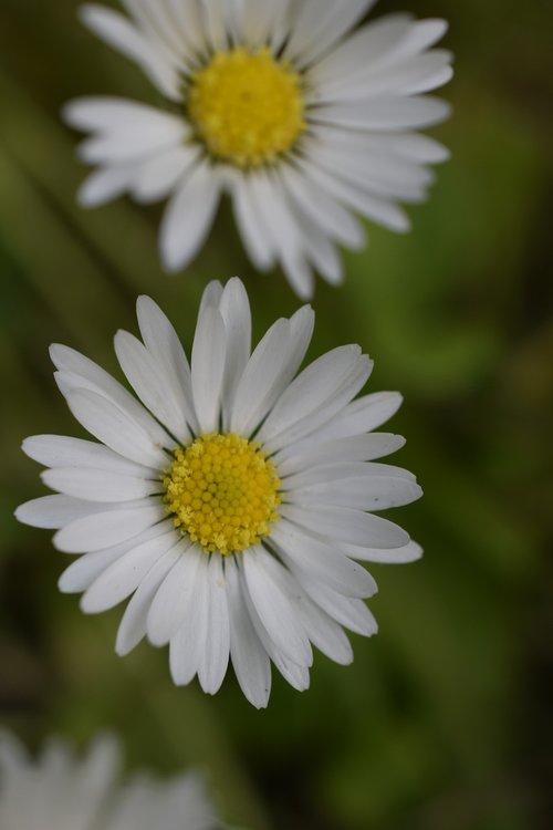 Daisy, žiedas, gėlės, pobūdį, žydi, baltos spalvos, Saulutės, floros, gėlių, Botanikos, botanika, Žiedlapis, žiedlapiai, žiedadulkės