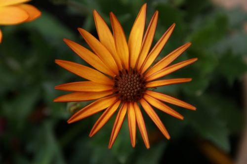 Daisy,african Daisy,gėlė,gėlių,pavasaris,pavasario gėlės,žydėti,žydi,oranžinė,augimas,vasara