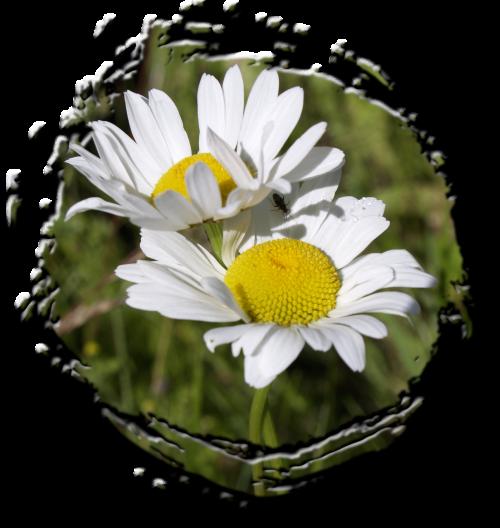 Daisy,pieva,gėlių,augalas,natūralus,žiedas,žydėti,žiedlapis,botanikos,ekologiškas,stiebas,botanika,žolė,Žemdirbystė,lauke,aplinka,wildflower,gėlė,lapai,sodininkystė,augmenija