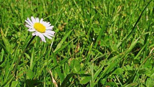 Daisy, žąsų gėlė, pavasaris, žiedas, žydėti, pieva, gėlė, Uždaryti, gražus, balta, augalas, ankstyvas bloomer, sodas, makro, gamta, pavasario pranašys, laukinė gėlių pieva, laukinė gėlė, maža gėlė, aštraus gėlė, mažas, žalias, flora