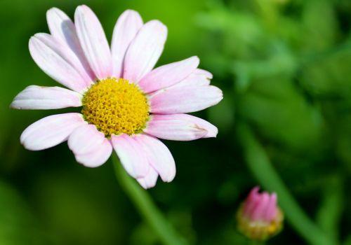 Daisy, žiedas, žydėti, augalas, vasara, gamta, gėlė, rožinis, balta, laukinė gėlė, sodas, Uždaryti, aštraus gėlė, žydėti, žiedlapiai, kelyje, maža gėlė
